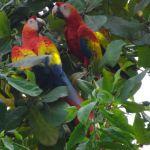 Ara-Papageien in Costa Rica
